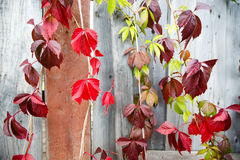 Autumn bindweed on the wood fence Stock Photos