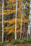 Autumn and Birch. New England  Scene In Vermont Stock Images
