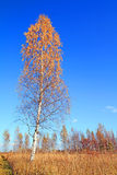 Autumn birch Royalty Free Stock Images