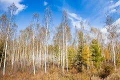 Autumn birch Stock Images