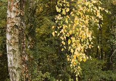 Autumn birch Stock Photography