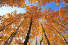Autumn birch. Trees against the blue sky stock images