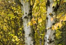 Autumn birch. Beautiful birch trees in Autumn Royalty Free Stock Photo