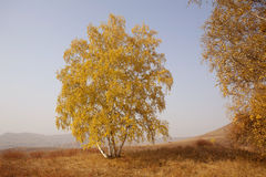 Autumn Birch. Birch proudly on the prairie Royalty Free Stock Photography