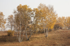 Autumn Birch. Leaves become golden brown stock photo