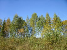 Autumn birch. Against the blue sky Royalty Free Stock Photo