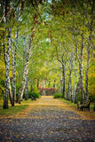 Autumn birch alley Royalty Free Stock Images