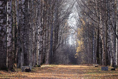 Autumn birch alley Royalty Free Stock Image
