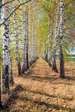 Autumn birch alley on a sunny day stock photo