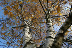 Autumn birch. Beautiful birch trees in Autumn royalty free stock images