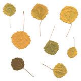 Autumn birch Betula, aspen or Populus tremula leaves Stock Images