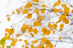Autumn birch brach