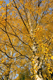 Autumn birch branches. Dramatical seasonal changes Stock Images