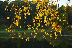 Autumn birch branches near a forest lake. Stock Images