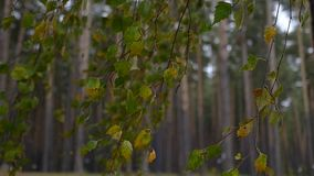 Autumn birch branches with yellow and green leaves swing in the wind. slowmotion, HD, 1920x1080. Autumn birch branches with yellow and green leaves swing in the stock video footage