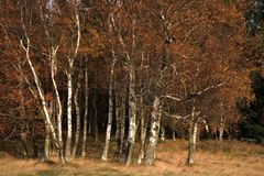 Autumn birch copse. Young birch in small village Pasterka in Stolowe Mountains, Table Mountains, National Park in Poland. Wilderness area with refugium of royalty free stock photography