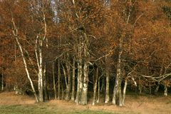 Autumn birch copse. Young birch in small village Pasterka in Stolowe Mountains, Table Mountains, National Park in Poland. Wilderness area with refugium of stock photo