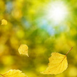 Autumn Birch. Falling autumn birch leaves against blur background Royalty Free Stock Image
