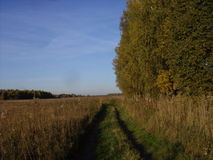 Autumn birch. Of field against the blue sky Stock Photography