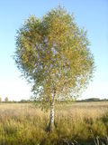 Autumn birch. Of field against the blue sky Stock Photo