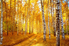 Free Autumn Birch Forest Stock Image - 11603281