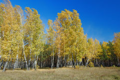 Autumn birch forest. Colourful view of autumn birch forest with clear blue sky Stock Photo