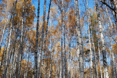 Autumn birch forest Stock Photos