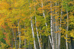 Autumn Birch Forest Royalty Free Stock Image