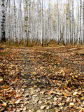 Autumn birch forest. The image of an autumn birch forest Royalty Free Stock Photos