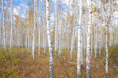 Autumn birch forest Stock Images