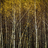 Autumn birch forest, background Royalty Free Stock Images