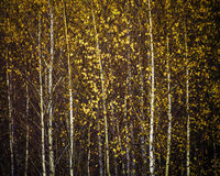 Autumn birch forest, background Stock Images