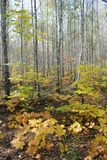 Autumn in the birch forest, beautiful landscape royalty free stock image
