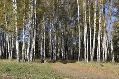 Autumn birch forest with dirt road Stock Image