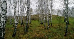 Autumn birch forest from drone stock video footage