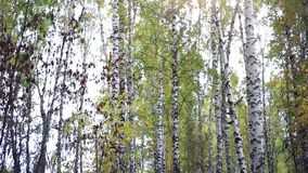 Autumn birch forest and falling leaves. HD. 1920x1080 stock video