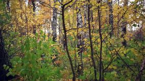 Autumn birch forest and falling leaves stock video