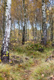 Autumn birch forest landscape Royalty Free Stock Images
