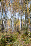 Autumn birch forest landscape Stock Photo