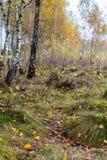 Autumn birch forest landscape Stock Images