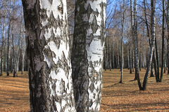 Autumn birch forest landscape Stock Photo