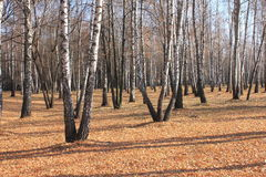 Autumn birch forest landscape Stock Image