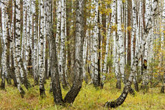 Autumn in a birch forest Royalty Free Stock Photo