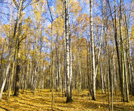 Autumn birch forest Stock Photography