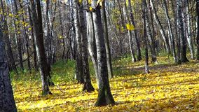 Autumn in birch forest stock video footage