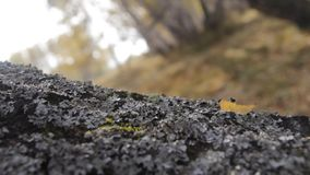 Autumn birch forest. Moss-covered trunk of a birch. Autumn forest stock video footage