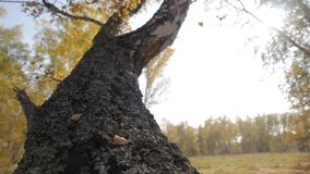Autumn birch forest. Moss-covered trunk of a birch. Autumn forest stock video