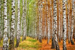 Autumn birch forest moves from summer to autumn Stock Photos