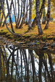 Autumn birch forest, reflection in the river Stock Photography