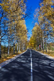 Autumn Birch Forest Road Royalty Free Stock Photos